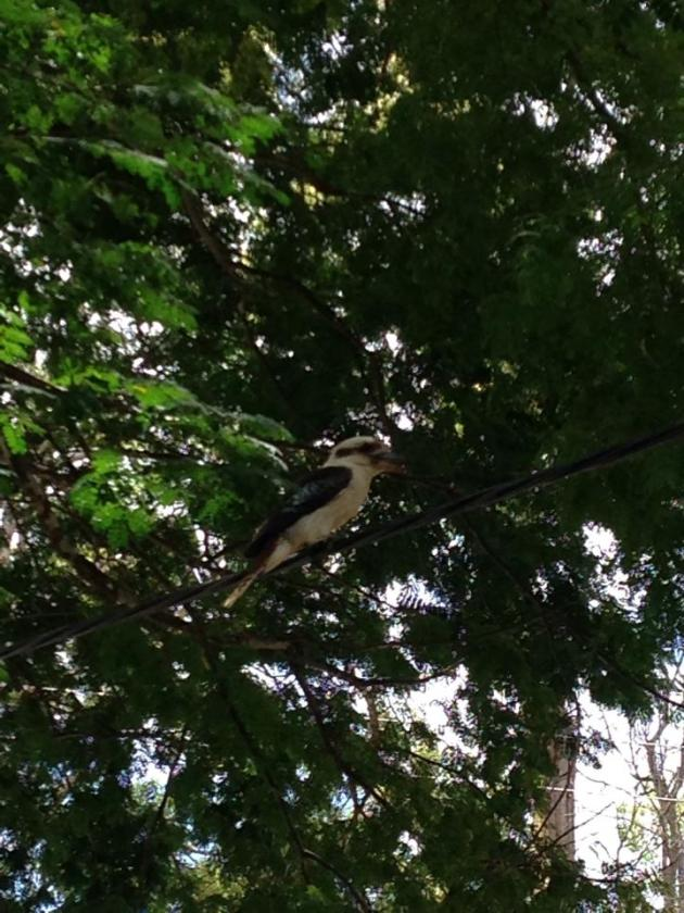 A kookaburra came to say hello after our lunch, I've never seen one as close up as I have today (much closer than what I got in this pic).
